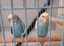 BUDGIES PAIR FOR AED 100/ ONLY