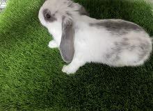 للبيع ارنب لوب الهولندي