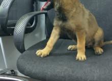 german shepard puppy جراوي جيرمن شيبرد مستوى توب