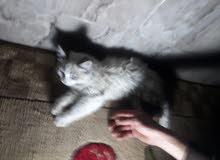 قطوس  فارسي للبيع