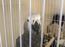 كاسكو للبيع parrot casco for sale