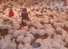 مزرعة دواجن للإيجار