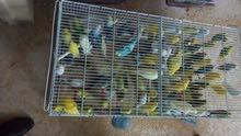طيور حب للبيع (50 جوز).. بلدي - شغال ... جميع الالوان .. بسعر مغري 7د/للجوز