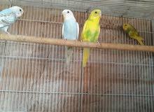 للبيع طيور الباجي من الإنتاج