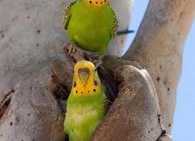 طيور الكناري وزيبرا وبيروشو انواع من الببغوات بحالة جيدة