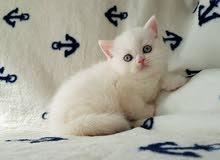 Snow-white british short hair kittens