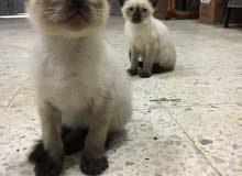 قطة سيامو صغيرة 3 اشهر
