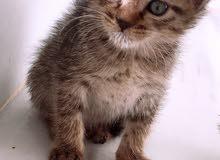قطة عمر شهرين للبيع