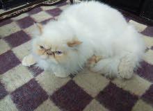 قط هملاية هابي فيس عمر ستة أشهر