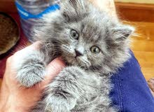 قطة شرازى بيور للبيع