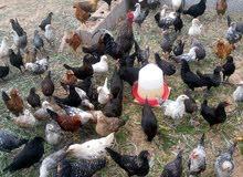 دجاج للبيع عربي وفيومى