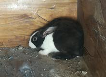 للبيع ارانب عمانيه