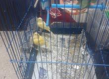 ثلاث طيور للبيع كنار بلدي العمر 3 شهور