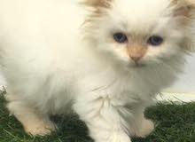 قط اسكورس