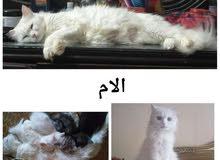 4 قطط شيرازي بيور مون فيس عيون رمادي للبيع بالقاهره عمرهم 50 يوم