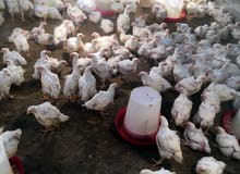 دجاج حجم كبير الكميه محدوده سارع بالحجز