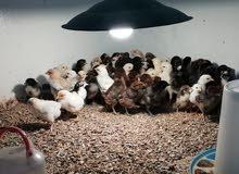للبيع صيصان دجاج العمر اسبوعين الحبه 400بيسه