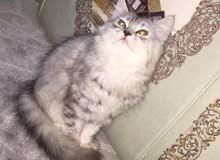 قطه مون فيس للبيع