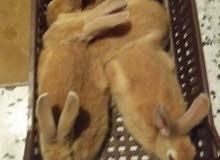 ارنب انتايا
