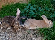 كوبية ارانب للبيع
