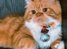 قط هملايا ذكر للبيع 200