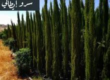 أشجار الزينه الايطاليه
