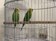طيور حب زوج مع القفص