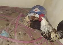 دجاج لي البيع وديجاجه هندي