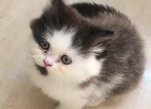 قطة شيرازية صغيرة ،   kitten