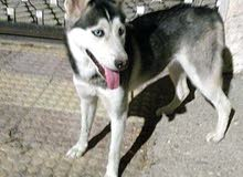 كلب هاسكي للبيع بسعر مغري 0797991418
