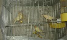 عصافير كنار صافي حبه جميله جدا فراخ الدار