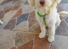 bishon dog