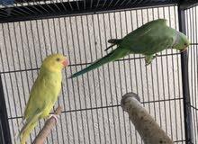 زوج ببغاء الدرة لون الأنثى اصفر ليموني والذكر اخضر عادي يركبون على اليد