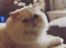 قطه انثى بيكي فيس للبيع