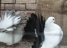 حمام هزاز ديول شغال بالضمان