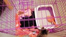 قط شيرازي أنثى للبيع بأسرع وقت العمر اربع شهور مع أغراضها البيع بأسرع.وقت