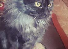 قط فارسي للبيع عمره 5 شهور