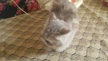 قطط فارسية للبيع