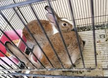 أرانب عمانيات للبيع