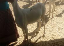 غنم صومالي الحجم الكبير موقعنا نزوى