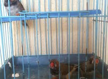 زيبرا طفرات باسعار الطيور العاديه