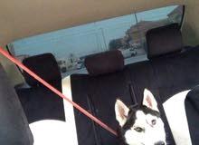 كلب هاسكي بيور للبيع