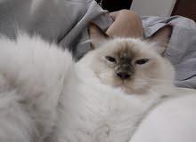 قطوه حامل