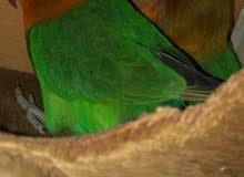 طيور الحب للبيع 200 جاهزين للأنتاج ذكر و انثى