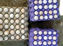 مطلوب بيض دجاج محلي مخصب للتفقيس