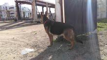 كلبه ولف الماني