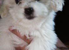 كلب انثى فرنسي تيرير لون ابيض عمر 3 اشهر