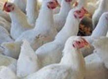 دجاج لحم للبيع جملة