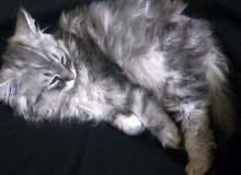 قط سيبيري(روسي)