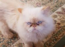 قط. للتزاوج بيكي فيس اورنج
